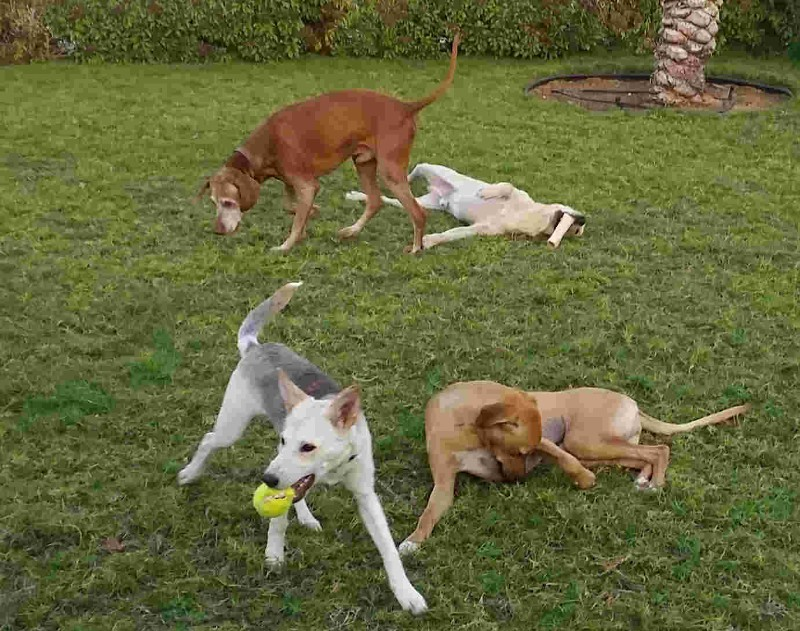 Dogs-and-play