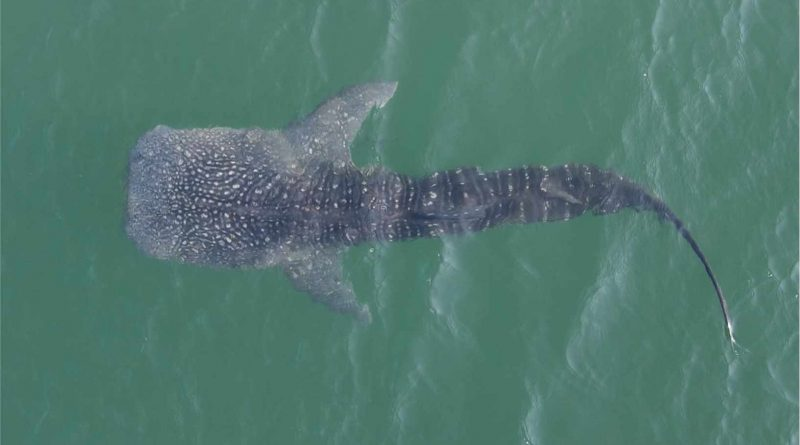 Rescued 'Al Bahiyah' Whale Shark Successfully